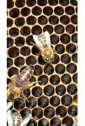 Reina virgen seleccionada raza ibérica + 3 abejas